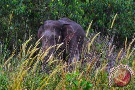"""Puluhan gajah Sumatera """"terjebak"""" di Air Rami"""