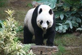 Ada 'Nenek Panda' Merayakan Ulang Tahun Di Kebun Binatang