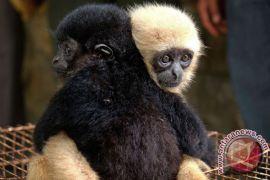 Sekitar 60 persen spesies primata terancam punah