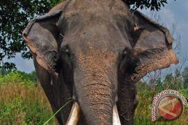 Pemburu asal Argentina diinjak-injak gajah hingga tewas di Namibia