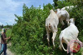 Kementan alokasikan 1.000 ekor sapi di NTB