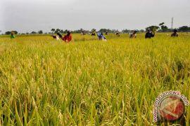 SLI III Temanggung hasilkan padi 7,7 ton/hektare