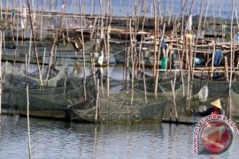 Selamatkan Budi Daya Kerapu Di Teluk Lampung