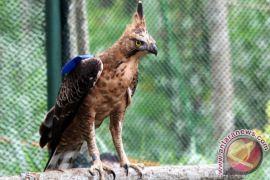 TNGM temukan elang Merapi bertambah tiga ekor