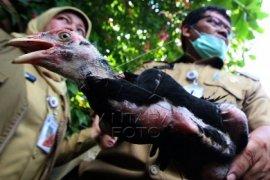 Kementan - FAO ingatkan ancaman pandemik penyakit unggas