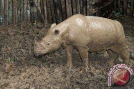 Populasi badak di kepundan Ngorongoro, Tanzania, naik jadi 50 lebih