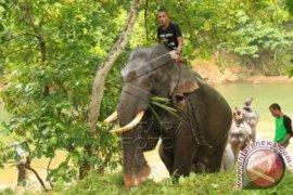 Gajah Jinak Dikerahkan Atasi Gajah Liar