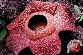 Bunga Rafflesia gadutensis dicincang orang sampai hancur