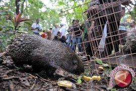 Bali Zoo Lepasliarkan Landak Jawa Langka