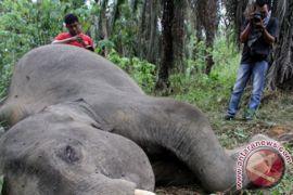 Seekor gajah ditemukan mati di Aceh Besar dengan penuh luka