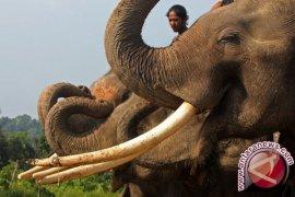 Singapura hancurkan gading gajah ilegal
