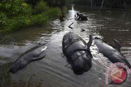 Sampah plastik penuhi perut paus mati di Thailand