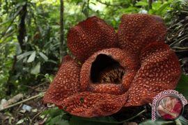 BKSDA Bengkulu sita bunga langka Rafflesia arnoldii