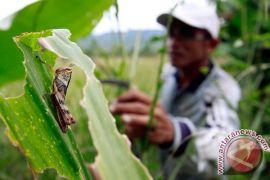 Zambia siaga untuk hadapi serangan belalang merah