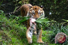 Harimau Benggala lahir di Kebun Binatang Medan