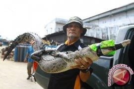 Buaya muncul, Wali Kota imbau warga tidak beraktivitas di Sungai Singkawang