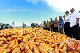 Petani Gorontalo sulit jual jagung, anggota DPRD prihatin