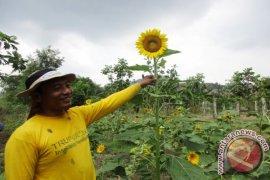 Petani Bunga Matahari