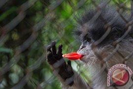 BBKSDA cek keberadaan monyet surili di Cianjur