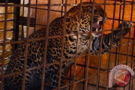 Macan tutul Kalimantan tertangkap kamera di suaka Malaysia