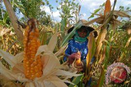 Produksi jagung baiknya untuk antisipasi musim kering daripada ekspor