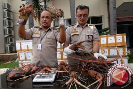 KKP  tingkatkan upaya cegah eksploitasi lobster dan kepiting