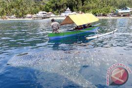 Hiu paus kembali terlihat di Bone Bolango, Gorontalo