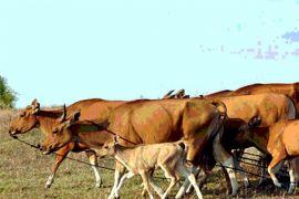 Stasiun pembibitan ternak sapi diresmikan di Pasaman Barat