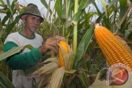 Sulteng panen raya jagung 3.000 hektare