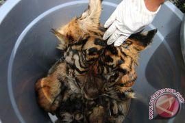 Kronologi matinya satu harimau liar di Mandailing Natal