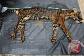 Dua penjual kulit harimau diciduk polisi
