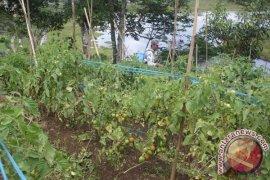 Harga tomat ditingkat petani capai Rp7.000