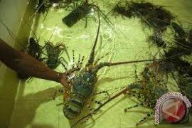 Sukabumi Rawan Penyelundupan Benur Lobster