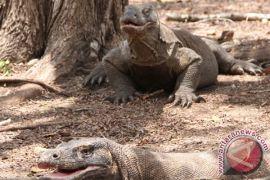 Kebakaran lahan TNK belum ganggu habitat Komodo