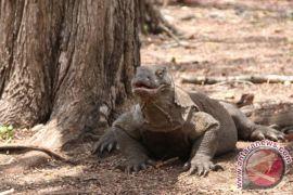 Pola kunjungan wisatawan ganggu ekosistem Pulau Komodo