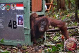 Ratusan orangutan telah diselamatkan dari kerja sama BKSDA-BOS