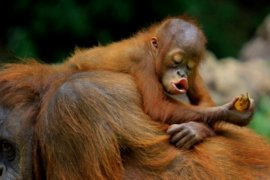 Orangutan Dan Singa Juara Lomba Foto Internasional