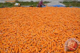 Produksi jagung Sultra capai 149.817 ton