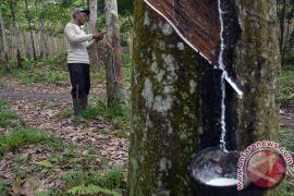 Harga getah karet petani Mukomuko bertahan tinggi