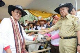 Lampung Panen 1.000 Sapi Hasil Inseminasi Buatan