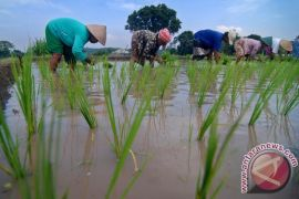 Pemerintah klaim produksi beras nasional 2017 surplus