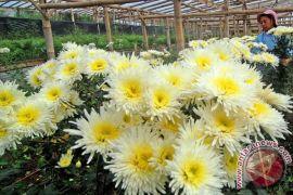 Warga kota Wamena diwajibkan tanam bunga krisan
