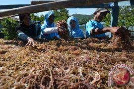 Rumput laut di Ternate tetap berproduksi