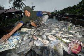 LIPI: Kajian sementara tidak ada fitoplankton beracun