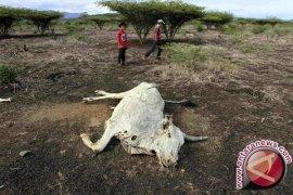 Ribuan Ternak Mati Akibat Kemarau Panjang