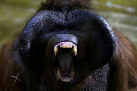 Bayi orangutan hibur pengunjung kebun binatang Ceko
