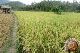 Panen Raya Habis, Harga Gabah Di Lampung Naik