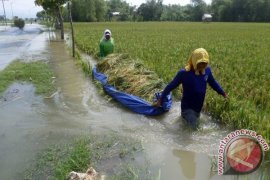3.637 hektare tanaman padi Aceh Barat terendam