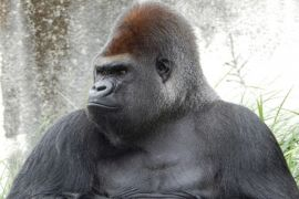 Induk gorila tua Kebun Binatang Miami mati