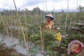 Petani Bengkulu Tanam 300 Ribu Bibit Cabai